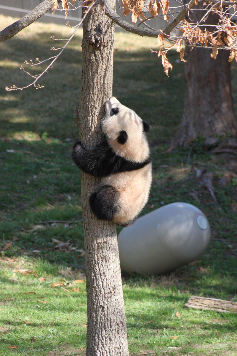 044 - Bao Bao climbing a tree - 12APR14