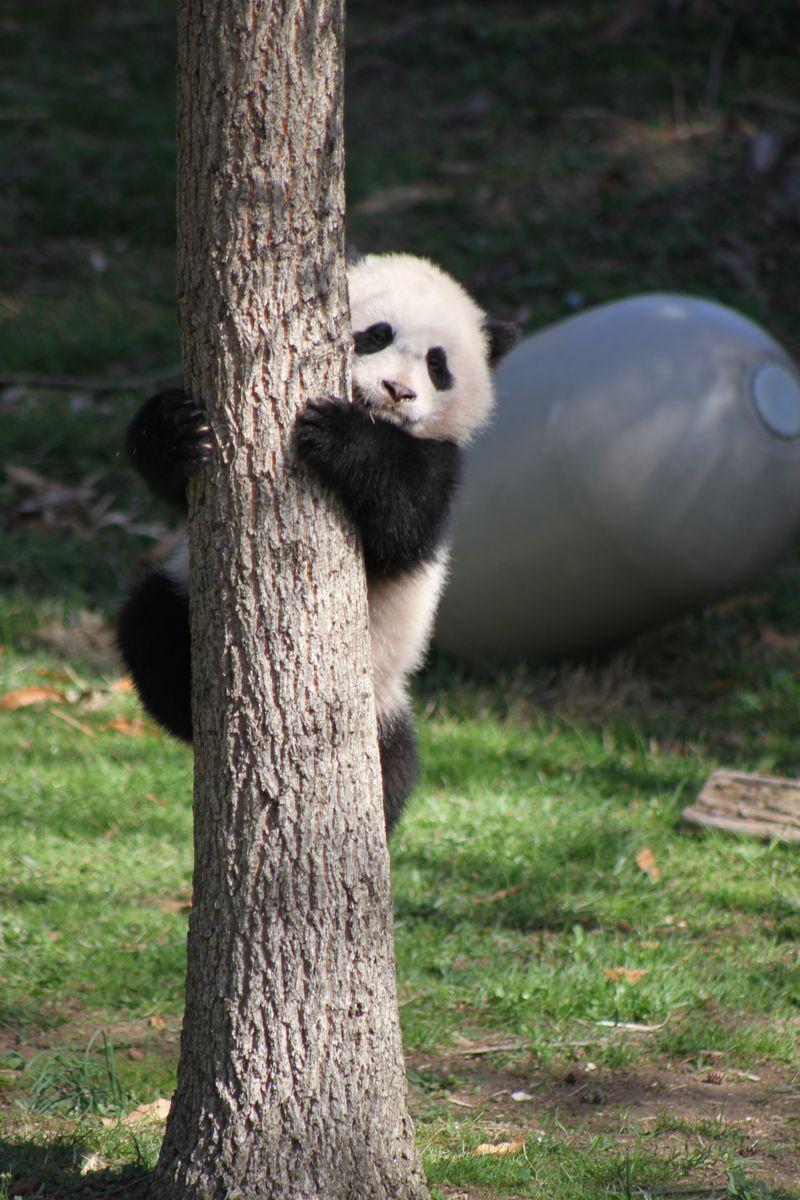 058 - Bao Bao climbing a tree - 12APR14